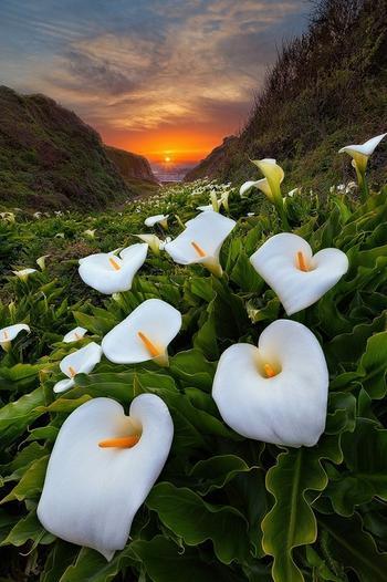 Цветы каллы в калифорнийской долине