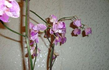 Почему у орхидеи опадают цветы и как спасти цветок