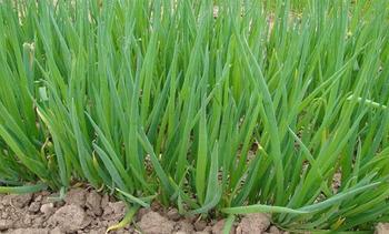 Выращивание и уход за луком батун: сроки посева семян, схема высадки