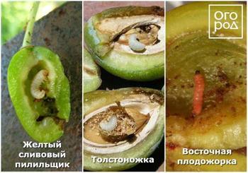 Почему осыпаются завязи и плоды на яблоне, сливе, вишне и других деревьях