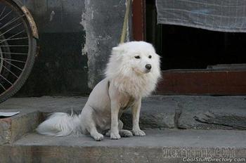Уморительные стрижки собак, которые настолько нелепы, что в пору звонить в службу защиты животных
