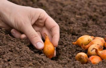 Предшественники лука: посадка культуры после других овощей