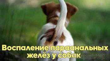 Воспаление параанальных желёз у собак. Советы ветеринарного врача