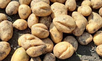 Разбор причин почему трескается картофель в земле и профилактика этого явления