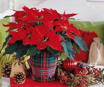 Цветок «Рождественская звезда»: фото, размножение и уход в домашних условиях