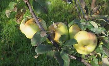Яблоня Богатырь: характеристика и описание сорта, выращивание и уход