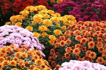 5 растений, цветущих всю осень
