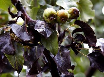 У груши скручиваются листья и чернеют