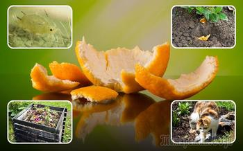 Апельсиновые корки – польза для сада и огорода, особенности применения на даче