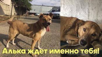 Ищем дом для Альки - замечательной собаки и верного друга!
