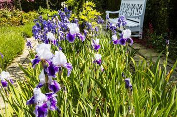 6 причин, почему ирисы вдруг перестали цвести