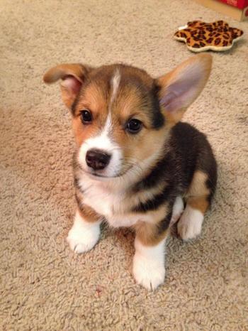 Фотографии, доказывающие, что щенки с одним поднятым ухом на 90% милее обычных