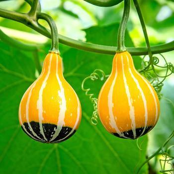 Декоративная тыква в форме груши: описание и фото — можно ли её есть