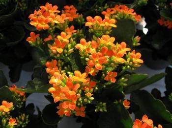 «Лекарь» каланхоэ — что нужно знать об уходе за растением в домашних условиях?