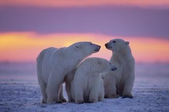 Факты о косолапых обитателях Арктики