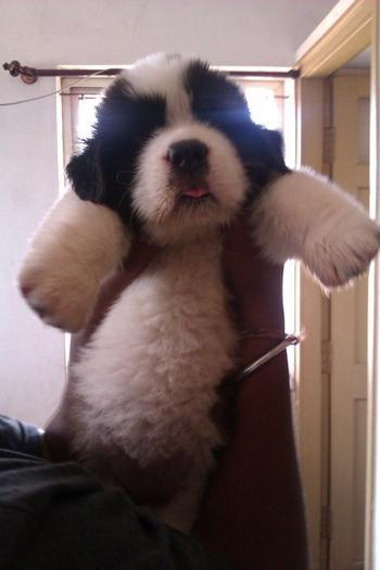 20 очаровательных щенков, которые не будут маленькими долгое время