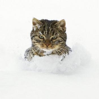 Реакция кошек на первый снег: 25 фото, которые поднимут вам настроение