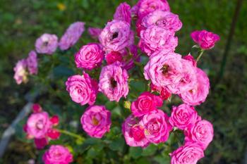 9 восхитительных сортов спрей-розы для средней полосы