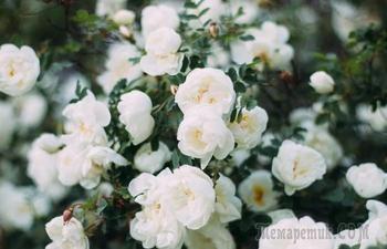Как избавить листья розы от черных пятен без химии: полезные советы