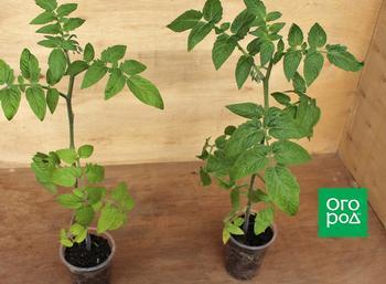 Два корня, один стебель: что дает прививка томатов