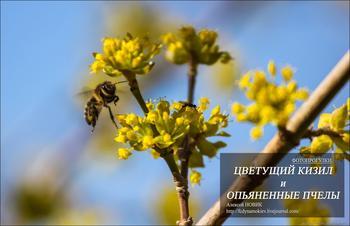 Фотопрогулки.   Цветущий кизил и опьяненные пчелы