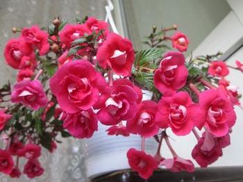 Ахименесы: уход и выращивание