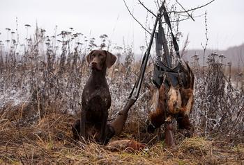 Как охотится с курцхааром на различных животных и птиц?
