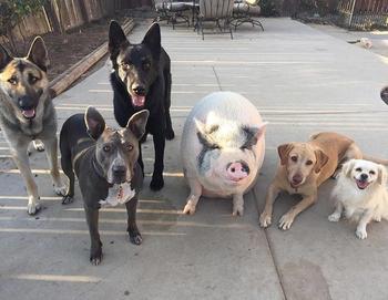 Похлебка — довольная свинка, выросшая среди 5 собак