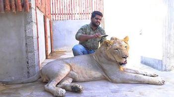 Настоящий Симба: Каково это — жить в доме с африканским львом