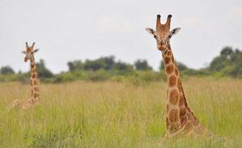 Необычные факты и истории о жирафах