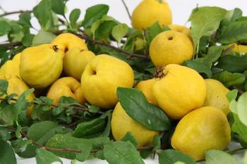 Айва японская, или Хеномелес: выращивание, посадка и уход