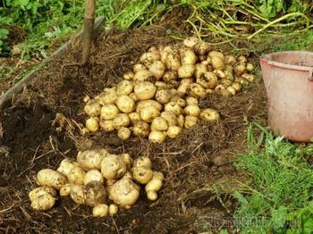 Как сохранить урожай картофеля надолго