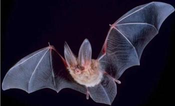 Невероятные факты о летучих мышах, которые вы не знали
