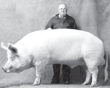 Самая большая свинья в мире: предмет гордости и домашний любимец