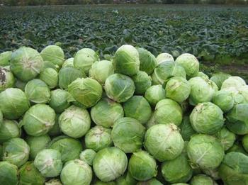 Капуста Агрессор: особенности выращивания голландского сорта