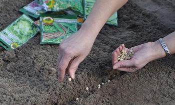 Правильная посадка гороха весной в открытый грунт семенами и рассадой: выращивание и уход