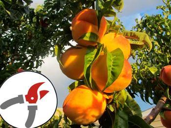 Как и когда проводить обрезку персика