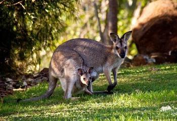 Топ-25: Удивительные факты про кенгуру, которые вы могли не знать