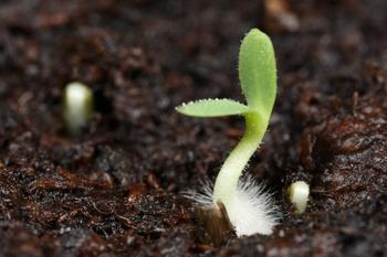 Какие условия необходимы семенам для прорастания?