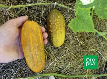 Тонкости сбора семян огурцов: правильная заготовка и хранение