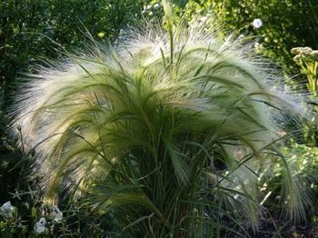 Декоративные травы и злаки для северных регионов – лучший выбор