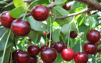 Всё о дюках – гибридах вишни и черешни