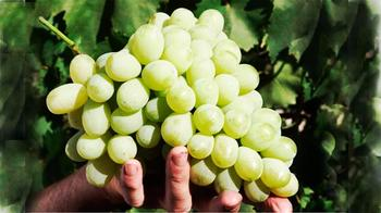 Особенности сорта винограда Лора и правила его выращивания