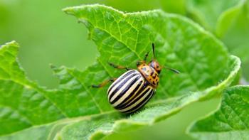 Борьба с колорадским жуком на картофеле народными средствами