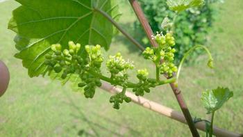 Как правильно выращивать виноград в Подмосковье