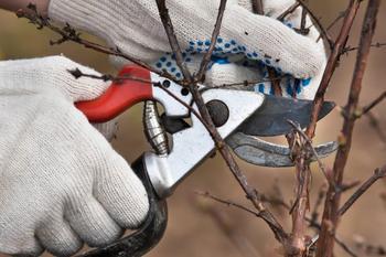 Уход за смородиной весной – как правильно обрезать, подкормить и обработать кусты