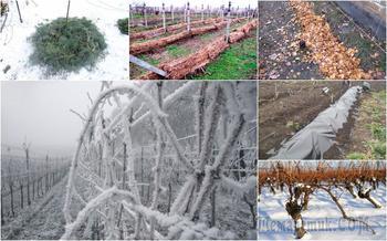 Чем укрыть виноград на зиму – плюсы и минусы всех способов укрытия