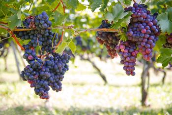 Неукрывной виноград для Подмосковья: как выбрать материал для посадки морозостойких сортов?