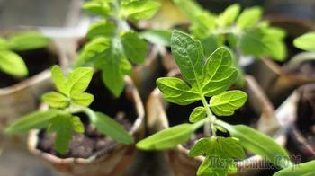 Подготавливаем почву с использованием опилок для рассады томатов