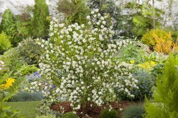 Лучшие виды и сорта весенних спирей для цветников